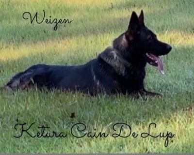 Weizen German Shepherds (Bred With H.E.A.R.T.)