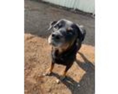 Adopt Leo a Rottweiler / Mixed dog in Houston, TX (29587611)