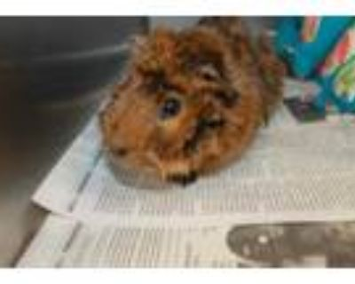 Adopt CHERRY a Red Guinea Pig / Mixed small animal in Los Angeles, CA (32133887)