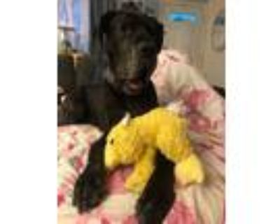 Adopt Renee a Black Great Dane / Mixed dog in Manassas, VA (31621911)