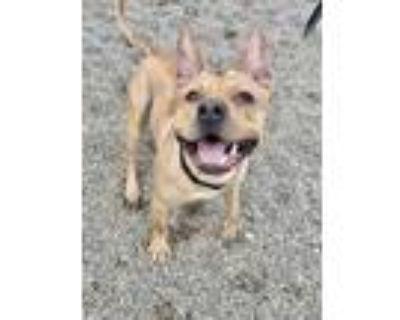 Adopt HADDIX a Tan/Yellow/Fawn American Pit Bull Terrier / Mixed dog in