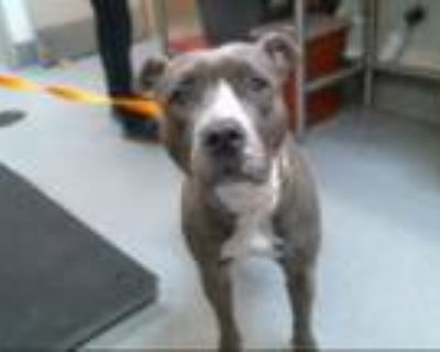 Adopt GIBBY a Pit Bull Terrier