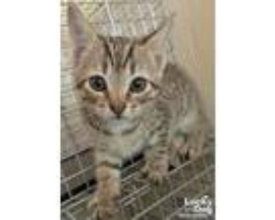 Adopt Franklin a Brown Tabby Domestic Shorthair / Mixed (short coat) cat in