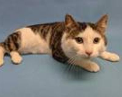 Adopt Oscar a White Domestic Shorthair / Domestic Shorthair / Mixed cat in