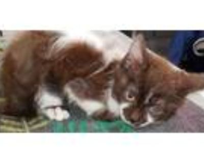 Adopt GIZMO a Brown or Chocolate Domestic Shorthair / Mixed (short coat) cat in