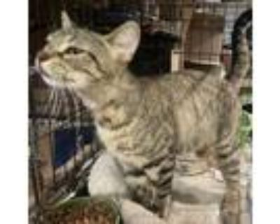 Adopt Flower a Brown or Chocolate Domestic Shorthair / Mixed cat in League City