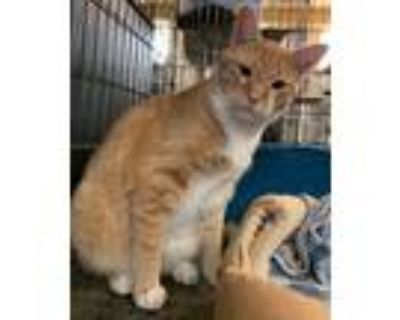 Adopt Tigger a Orange or Red (Mostly) Domestic Shorthair / Mixed (short coat)