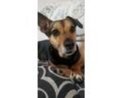 Adopt Molly a Black - with Tan, Yellow or Fawn Dachshund / Beagle dog in