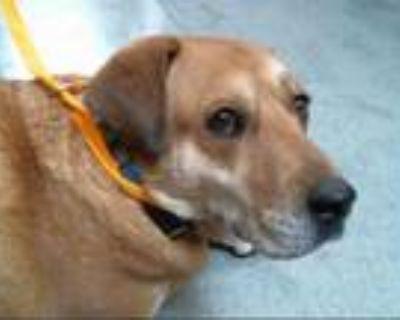 Adopt SADIE a Red/Golden/Orange/Chestnut - with White Labrador Retriever / Mixed