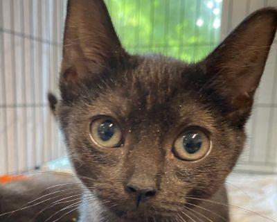 Freddie - Domestic Shorthair - Kitten Male