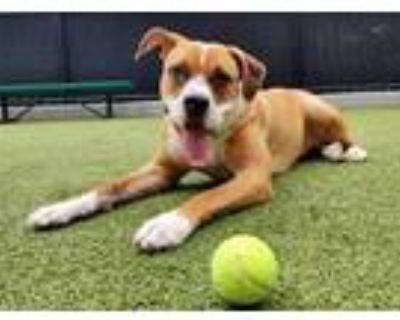 Adopt Daisy a Boxer, Terrier