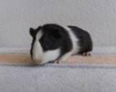 Adopt SLICK a Guinea Pig
