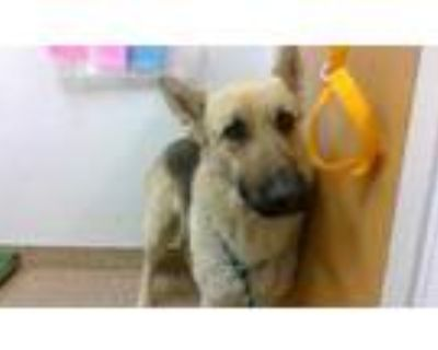 Adopt HILARY a Tan/Yellow/Fawn - with Black German Shepherd Dog / Mixed dog in