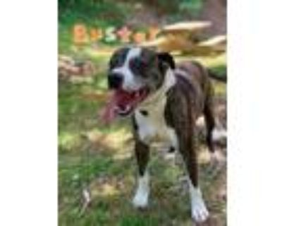 Adopt Buster a Brindle American Pit Bull Terrier / Mixed dog in Dahlonega