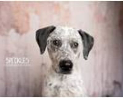 Adopt Speckles a White - with Brown or Chocolate Pointer dog in Littleton
