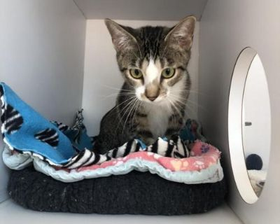 Female Domestic Short Hair named Mary available for adoption