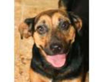Adopt MARCIA BRADY a Miniature Pinscher, Terrier