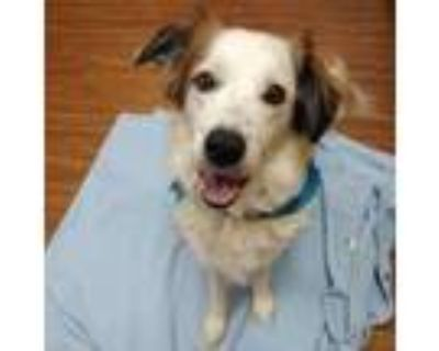 Adopt Tessy a White Border Collie / Mixed dog in Merriam, KS (32135361)
