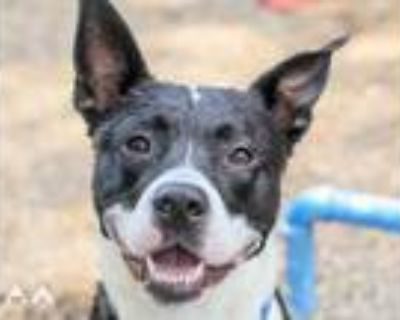 Adopt Milan a Black American Pit Bull Terrier / Mixed dog in Lowell