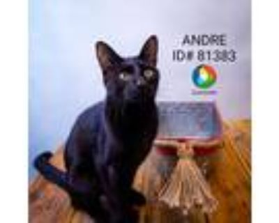 Adopt Sx Suite Andre a Domestic Short Hair