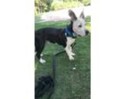 Adopt Max a Black - with White American Pit Bull Terrier / Anatolian Shepherd