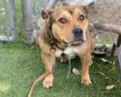Adopt VALENTINA a Brown/Chocolate - with Black American Pit Bull Terrier / Mixed
