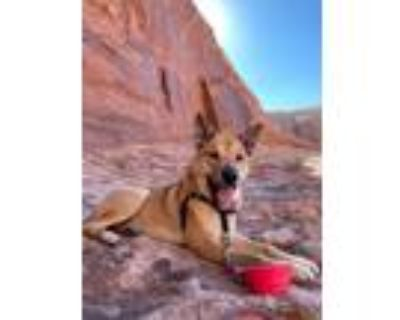 Adopt MOJO a Brown/Chocolate - with White Australian Cattle Dog / Chow Chow /