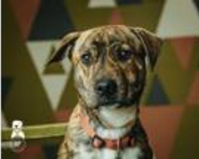 Adopt Ringo a Brindle - with White Boxer / Pit Bull Terrier / Mixed dog in