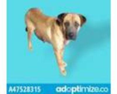 Adopt 47528315 a Brown/Chocolate German Shepherd Dog / Mixed dog in El Paso