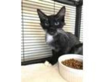 Adopt Bounce a All Black Domestic Shorthair / Domestic Shorthair / Mixed cat in