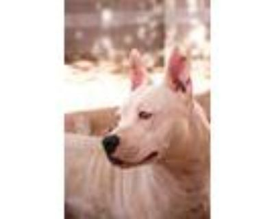 Adopt CARLA a White American Pit Bull Terrier / Mixed dog in Albuquerque