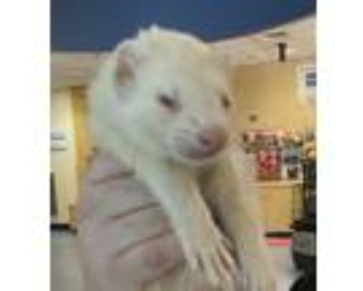 Adopt Nosey a Ferret small animal in Golden, CO (31945702)