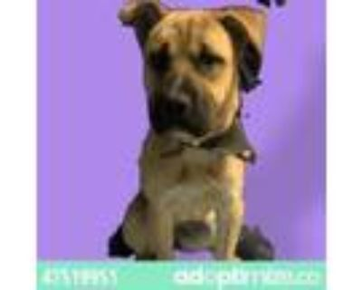Adopt 47519951 a Tan/Yellow/Fawn German Shepherd Dog / Mixed dog in El Paso