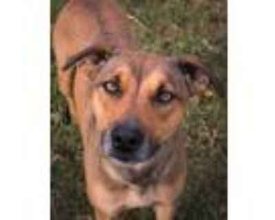 Adopt Tazz a Brown/Chocolate - with Black Hound (Unknown Type) / Shepherd
