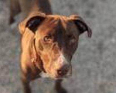 Adopt BOOFEY a Labrador Retriever, Mixed Breed