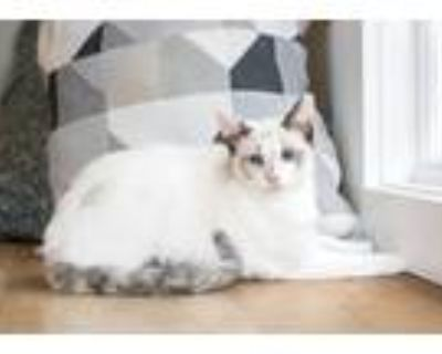 Adopt Chicken Noodle a White (Mostly) Siamese (short coat) cat in Dayton