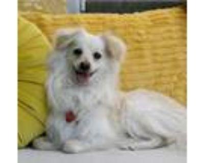 Adopt LEO THE LION a White Pomeranian / Mixed dog in Studio City, CA (31931159)