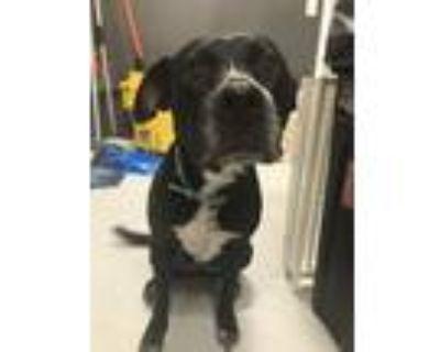 Adopt Stephanie a Staffordshire Bull Terrier, Labrador Retriever
