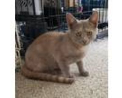 Adopt sable a Calico or Dilute Calico Domestic Shorthair / Mixed (short coat)
