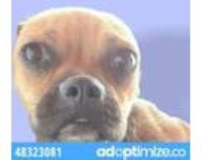 Adopt 48323081 a Brown/Chocolate Boston Terrier / Mixed dog in El Paso