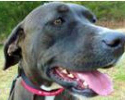 Adopt Malinda a Labrador Retriever