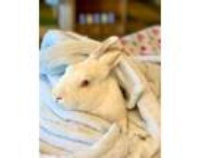 Adopt Avery a Bunny Rabbit