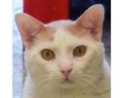 Adopt Peyton a Orange or Red (Mostly) American Shorthair / Mixed (medium coat)