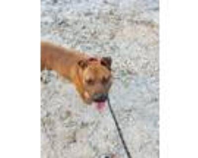 Adopt Jake a Red/Golden/Orange/Chestnut Hound (Unknown Type) / Pit Bull Terrier