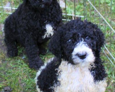 Aussiedoodle pups