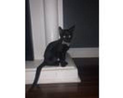 Adopt Felix a All Black Cornish Rex / Mixed (short coat) cat in Bakersfield