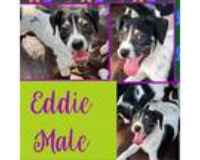 Adopt Eddie a Black Miniature Pinscher / Rat Terrier / Mixed dog in El Dorado