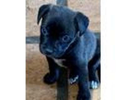 Adopt Darla a Black - with White Labrador Retriever / Mixed dog in Bonita