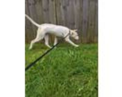 Adopt Little Buddy a White - with Brown or Chocolate Terrier (Unknown Type