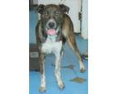 Adopt Penelope a Brindle - with White Hound (Unknown Type) / Labrador Retriever